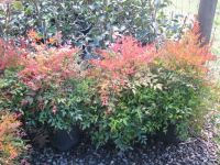 Nandina_Moonbay_-_Autumn