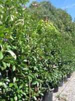 Photinia_Robusta
