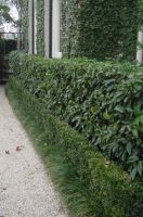 Prunus_Lusitancia_-_Tiered_hedge