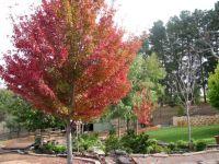 Acer_Autumn_Blaze_-_Autumn_Colour