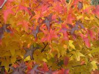 Liquidamber_-_autumn_tones