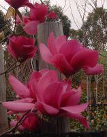 Magnolia_-_Vulcan
