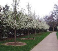 Manchurian_Pears_-_Blossom