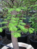 Metasequoia_-_Dawn_Red_Wood