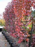Pyrus_Capital_in_autumn_tones