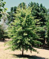 Quercus_-_Pin_Oak