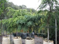 Weeping_Conifers