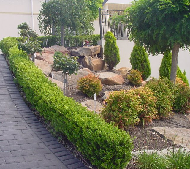 JAPANESE BUXUS
