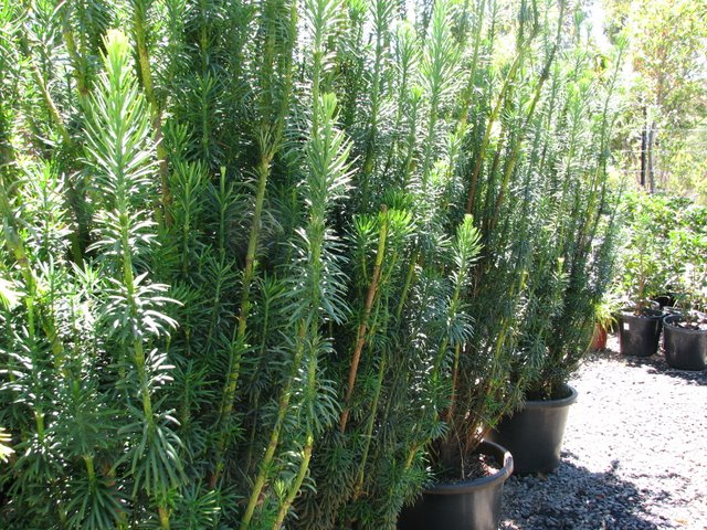 JAPANESE PLUM YEW
