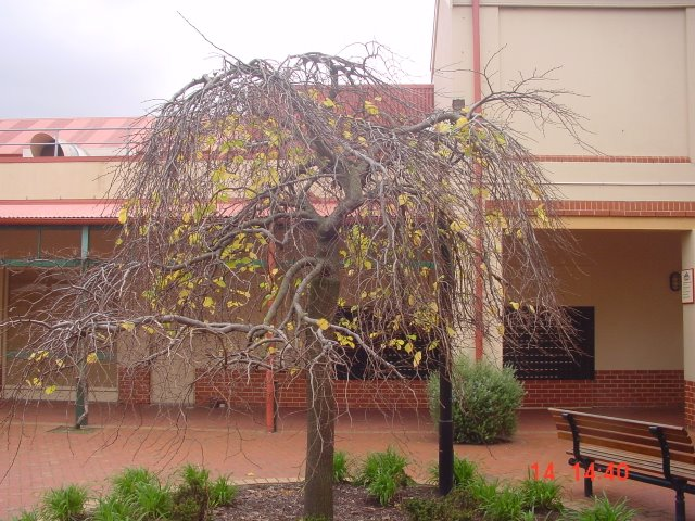 Slender WEEPING GREEN ELM